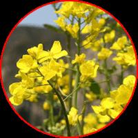 ekstrak bunga kanola