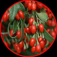 ekstrak guji berry